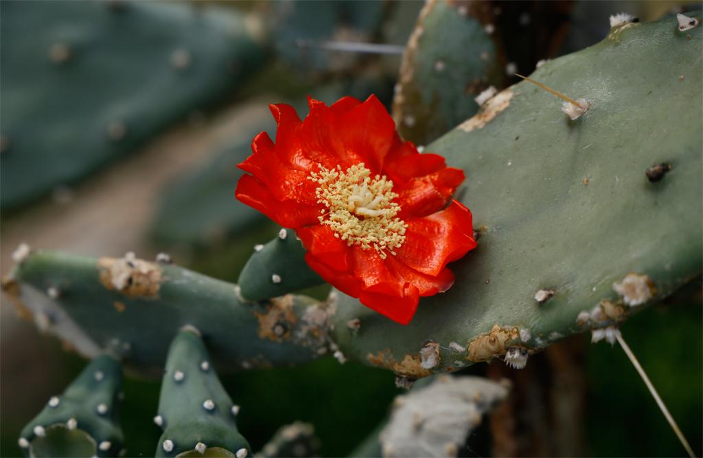 Kaktus mit einer roten Blüte