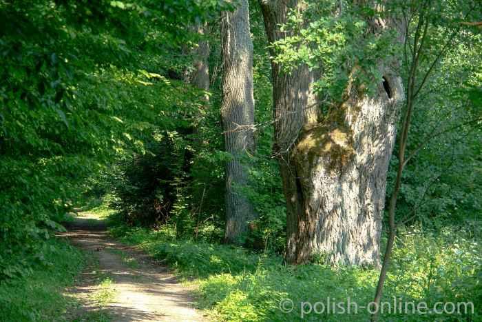 Eichen im Schlosspark von Steinort (Sztynort)