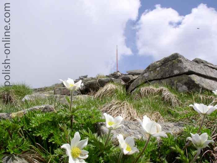 Foto von blumen (Pulsatilla vulgaris) am Fuße des Babia Góra