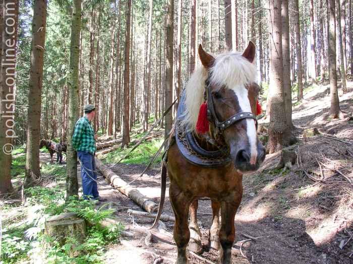 Transport von Baumstämmen mit Pferden