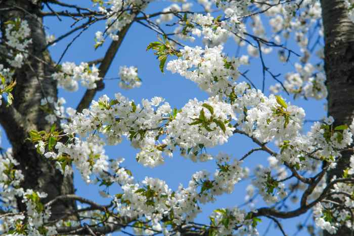 Kirschblüten vor blauem Himmel