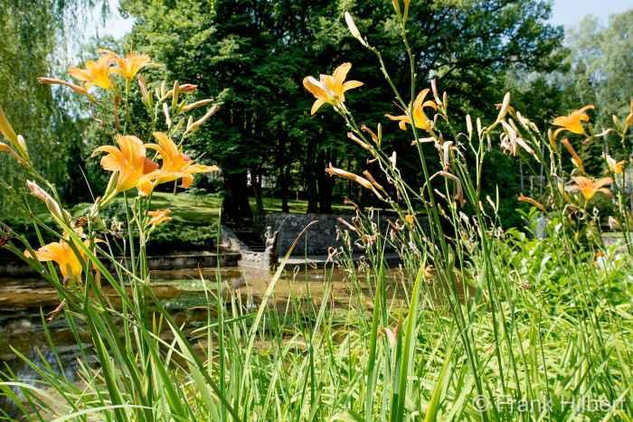 Taglilien im Kurpark von Bad Polzin