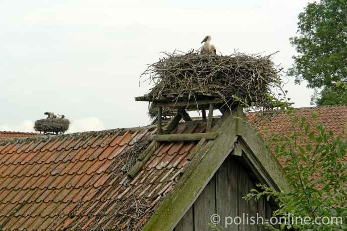 Störche in einem Nest in Schewecken (Żywkowo)
