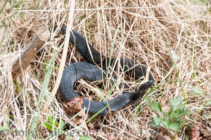 Eine schwarze Schlange im Slowinzischen Nationalpark