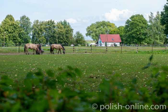 Konik-Pferde in Popielno