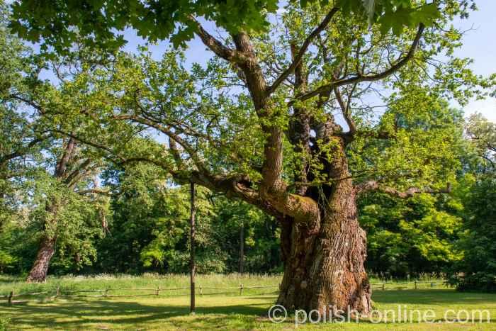 Eiche im Park des Schlosses Rogalin in Polen