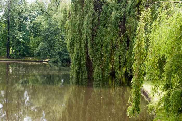 Trauerweiden im Schlosspark Wilanów