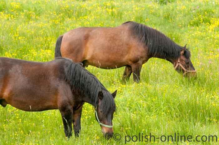 Huzulenpferde der Tierzuchtstation in Wołosate auf einer Weide