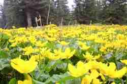 Wiese mit gelben Sumpfdotterblumen (Caltha palustris)