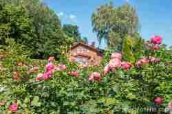 Rosen im Schlosspark Neustetting