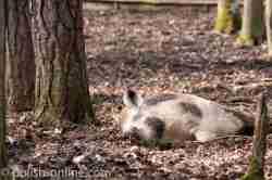 Wildschwein auf der Insel Wollin liegt in der Sonne