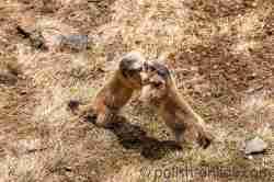 Raufende Murmeltiere