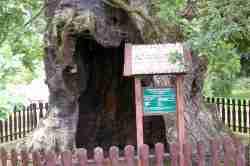 1000-jährige Eiche in Cadinen (Kadyny)