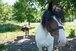 Pferde auf einer Koppel in Jakobsdorf (Jakubowo)