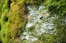 Mit Moos bewachsene Bunkerwand im Mauerwald