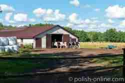 Kühe laufen in einen Kuhstall