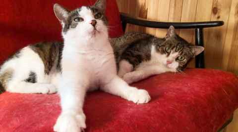 Zwei dreifarbige Katzen auf einem mit rotem Samt bezogenen Stuhl
