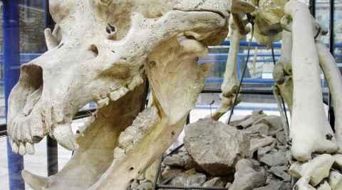 Skelett eines Höhlenbärs