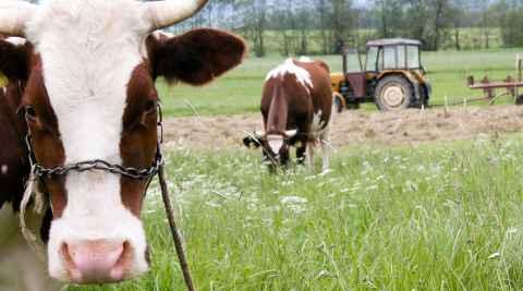 Kühe auf einer Wiese