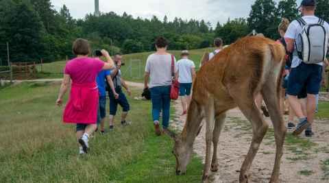 Hirschkuh zwischen Touristen in Kosewo Górne in Masuren
